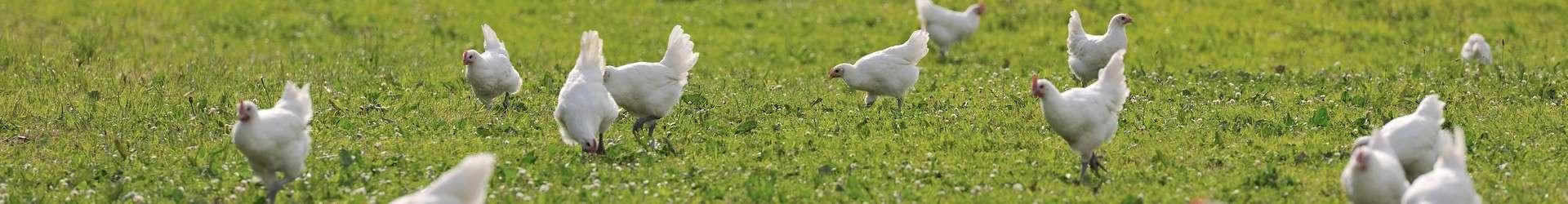 ferme-de-la-viennette-montret-volailles-de-bresse-aoc-aop-en-plein-air-amedee-de-almeida-52-184