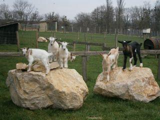chevres-animauxdespetitsbois-78
