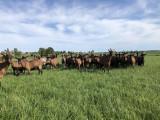 troupeau-chevres-3- Ferme de la Guyotte