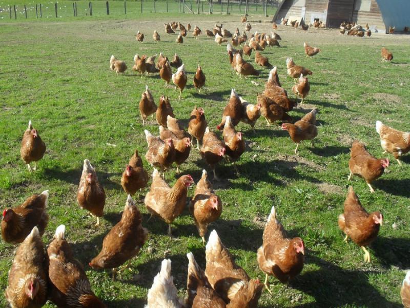 Poules pondeuses plein air © ESAT