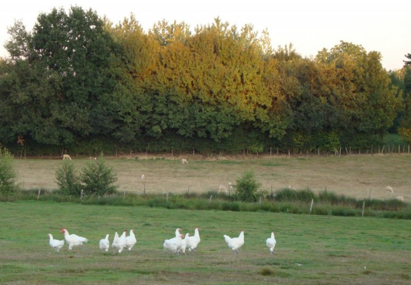 Volailles de Bresse  © OTPBB