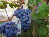 La vigne à l'entrée du gîte